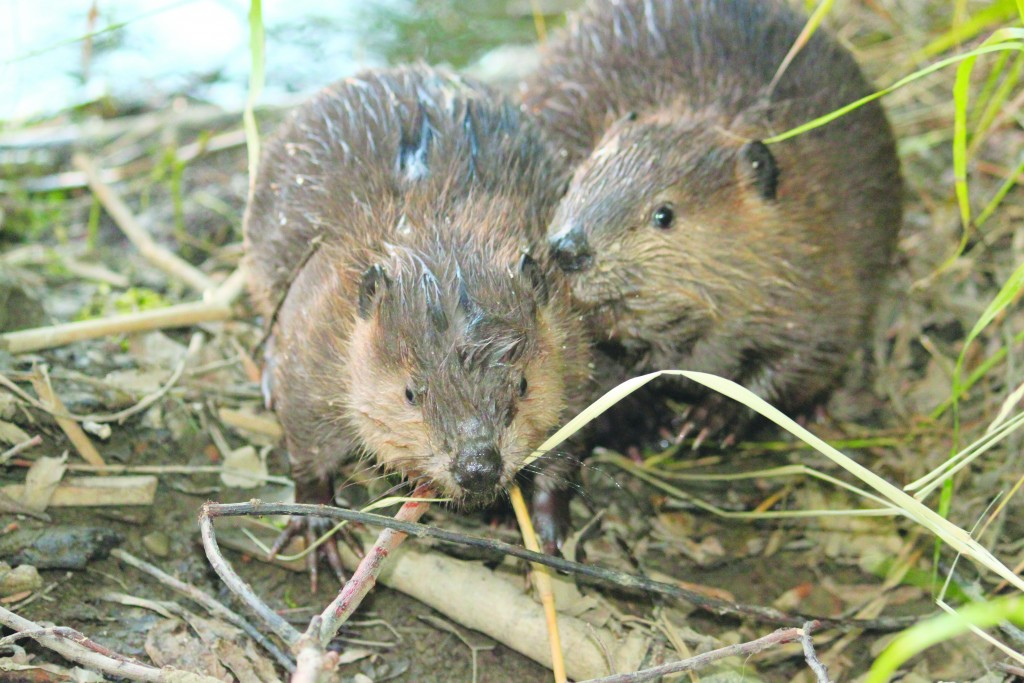 This year's litter of Martinez beaver kits, like these two photographed near Alhambra Creek in 2010, have died from unknown causes in recent months. One kit hasn't been spotted in some time, but the bodies of several others have been recovered. Certain poisons and environmental causes have been ruled out. (CHERYL REYNOLDS / Worth a Dam)