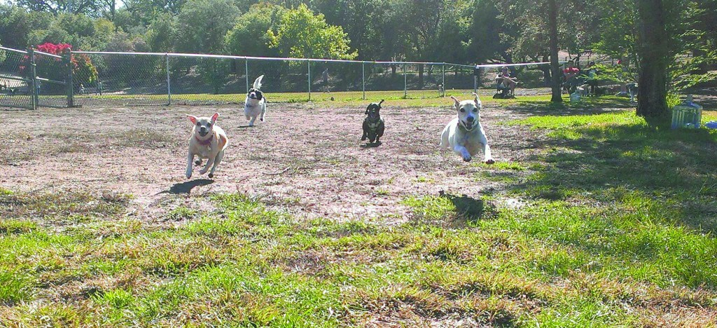 A group of dogs enjoying Paso Nogal Dog Park in Pleasant Hill. A group of Martinez residents are vying for a local dog park, most recently petitioning the City Council  during the Sept. 16 regular meeting to explore options for a pooch-friendly park. (LISA WHITTAKER / Courtesy)