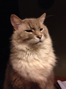 """Seal Point-Maine Coon mix """"Washington,"""" rescued on the day he was to be euthanized. (JULIE LINFORD / Courtesy)"""