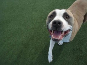 Barbie, a dog erroneously euthanized by Contra Costa Animal Services June 18. (COURTESY / On File)