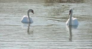 swans-rgb